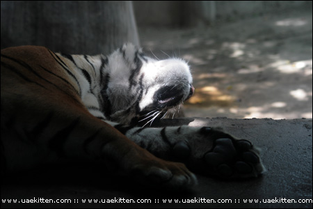 Tigers are just like big cats wanting a break from time to time
